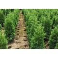 大量批发优质杜鹃种植基地长年供应水浏阳绿化苗木基地