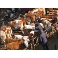 东北肉牛交易市场