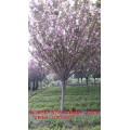 庭院樹木銷售業務報價,四川櫻花新價格