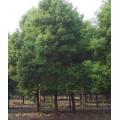 京山香樟树