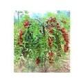 钙果苗50-80公分高0.4元山西瑞丰苗圃
