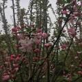 四季海棠多少钱