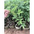 涪陵藤椒苗木種植時間 涪陵藤椒品種