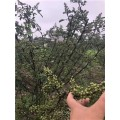 貴州藤椒苗木種植時間 貴州藤椒品種