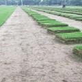 安徽中華結縷草草坪多少錢一個平方