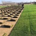 温州混播黑麦草草坪种植基地