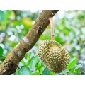 水果进口报关|马来西亚新鲜榴莲可以进口吗?