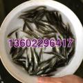 加州鲈鱼苗批发淡水鲈鱼苗出售