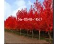 10公分美国红枫-12公分-15公分美国红枫 (0)