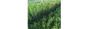 丛生北海道黄杨1米-2米-4米丛生北海道黄杨-直供